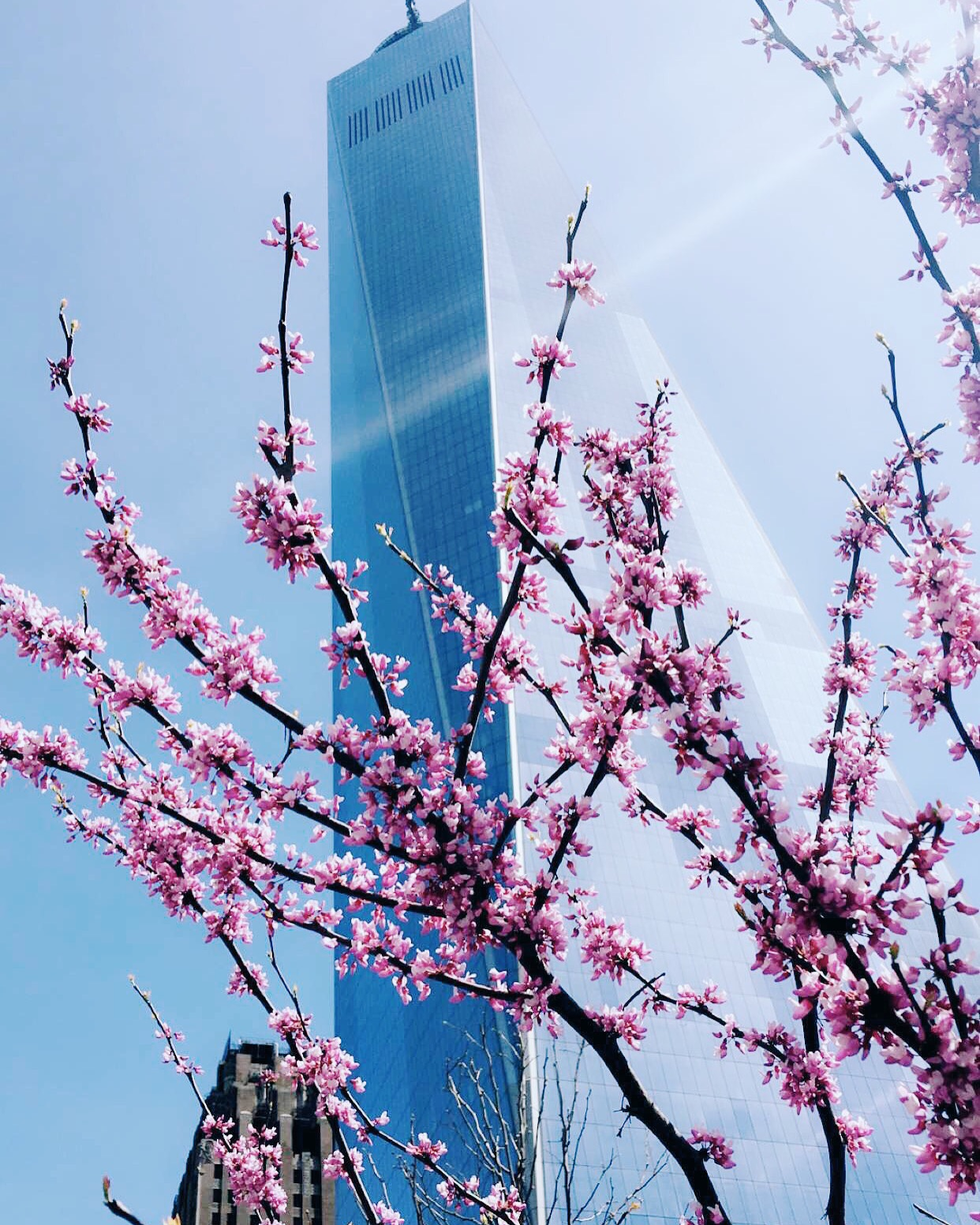 Cherry Blossoms at 1 World Trade Center